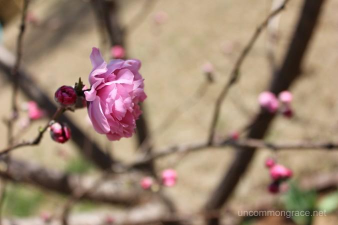 UG Spring Peach Blossom