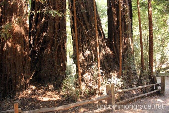 UG Redwoods