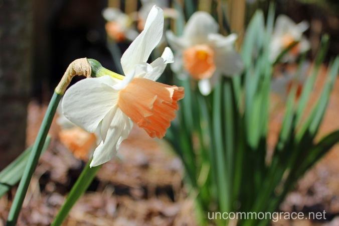 UG Daffodil